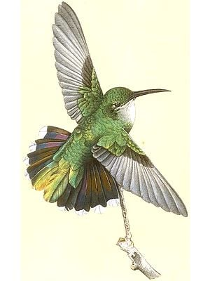 Female Antillean Mango Hummingbird