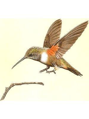Female Bahama Woodstar Hummingbird, Nassau, Bahamas
