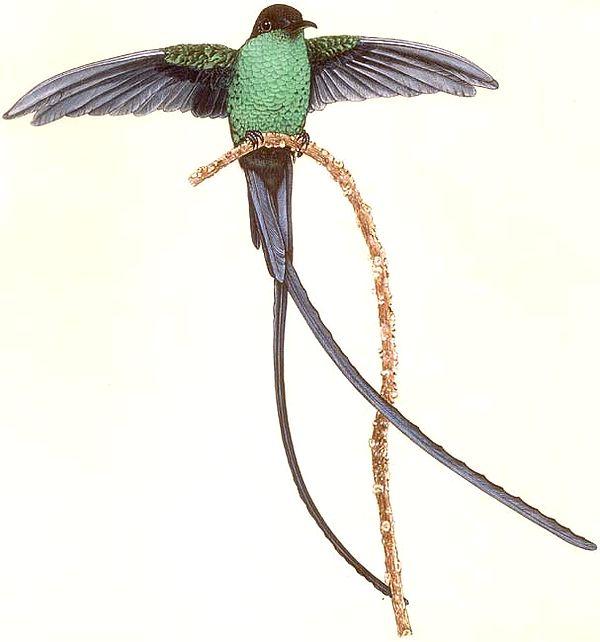 Male Eastern Streamertail Hummingbird, Port Antonio, Jamaica
