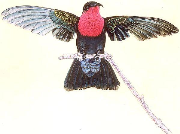 Male Purple Throated Caribbean Hummingbird