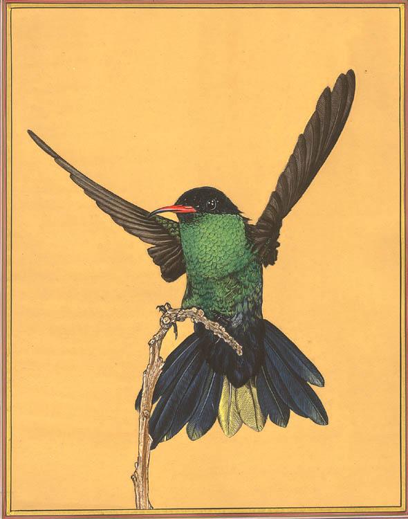 Male Western Streamertail Hummingbird