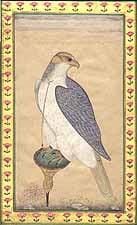 Mansur's Falcon