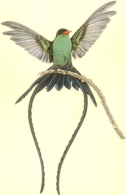Western Streamertail Hummingbird, Kingston, Jamaica