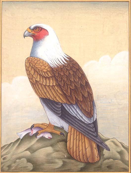 White Crested Falcon