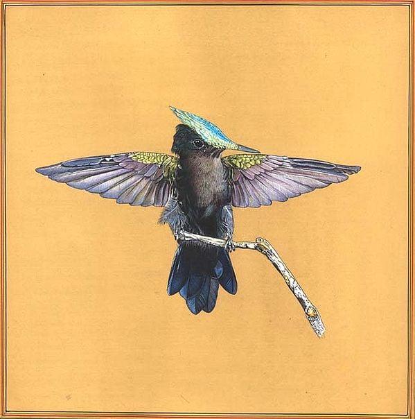 Male Antillean Crested Hummingbird