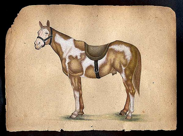 Horse Species of the World - Pinto